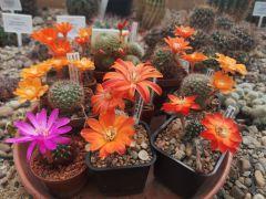 kwitnące kaktusy Mediolobivia spp., Rebutia spp. i...