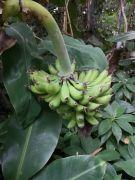 Musa acuminata 'Dwarf Cavendish'-Bananowiec.jpg