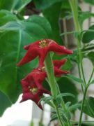 Petunia exserta.jpg