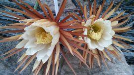 Selenicereus grandiflorus-,,królowa jednej...
