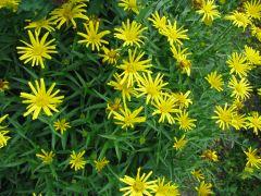 Buphthalmum salicifolium.JPG