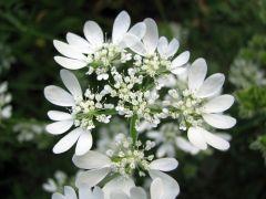 Orlaya grandiflora_2.JPG