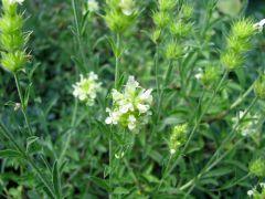 Sideritis hyssopifolia.JPG