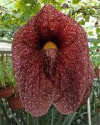 Aristolochia gigantea.jpg