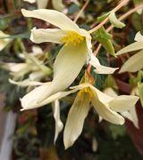 Begonia boliviensis 'Yellow'.jpg