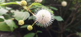 Cephalanthus occidentalis Guzikowiec zachodni