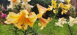 Lilium hybridum 'Rising moon' Lilia hybrydowa