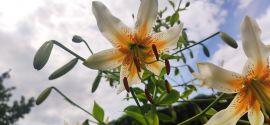 Lilium hybridum 'Lady Alice' Lilia hybrydowa