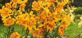 Lilium hybridum 'Yellow Bruse' Lilia hybrydowa