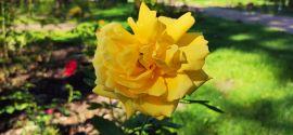 Rosa 'Landora'.jpg