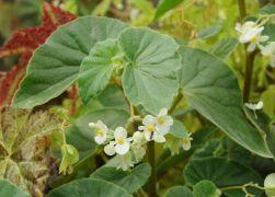 Begonia subvillosa.JPG