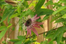 Passiflora x viloacea.JPG