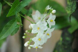 Solanum laxum.JPG