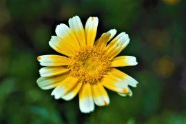 Chrysanthemum coronarium - złocień wieńcowy.JPG