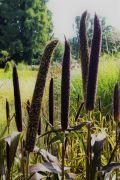 Pennisetum glaucum - rozplenica perłowa Purple Majesty.JPG
