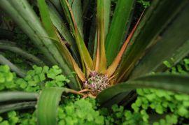 Bromelia nidus-puellae.JPG