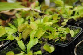 Dionaea muscipula Muchołówka amerykańska.JPG