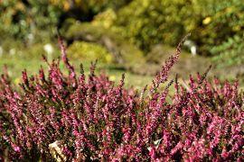 Calluna vulgaris - Wrzos zwyczajny.JPG