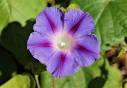 Convolvulus tricolor - Powój trójbarwny.JPG