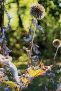 Echinops exaltatus - Przegorzan węgierski.JPG