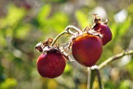 Solanum sisymbriifolium - Psianka stuliszolistna.JPG