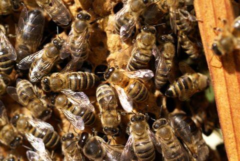 Naukowcy z UMCS opracowali lek dla pszczół (aktualizacja...
