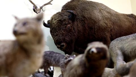 Muzeum Zoologiczne UMCS kończy 75 lat - wideo